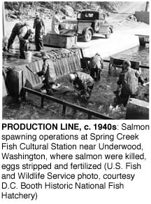 Production Line, c. 1940s: Salmon spawning operations at Spring Creek Fish Cultural Station near Underwood, Washington, where salmon were killed, eggs stripped and fertilized (U.S. Fish and Wildlife Service, courtesy D.C. Booth Historic National Fish Hatchery)