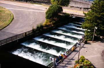 Bonneville Dam's fish ladder.  Three quarters of Idaho's adult Sockeye survive their upstream migration through the Lower Columbia's four dams and four reservoirs, whereas, the 2008 FCRPS BiOp assumed 91% would survive this same reach.