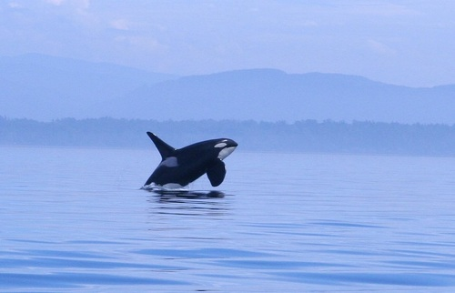 Southern Resident J27 aka. 'Blackberry', is easy to recognize by his tall dorsal fin.
