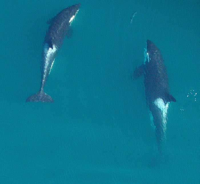 J2, aka 'Granny,' is on the right, in a photo taken by drone in September. She's about to catch that salmon and feed it to J45, whose mother had just died. Granny herself went missing in October.