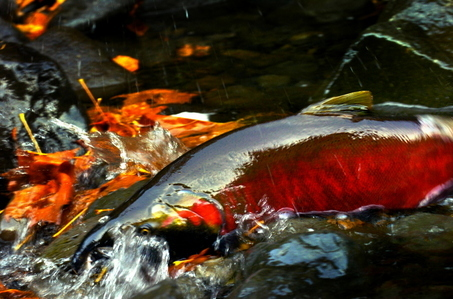 A spawning salmon at Eagle Creek.