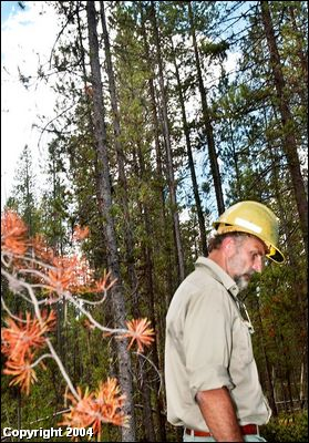 (Joe Jaszewski photo) U.S. Forest Service Forester Alan Young stands in an area of the Sawtooth National Forest that has been attacked by mountain pine beetles.