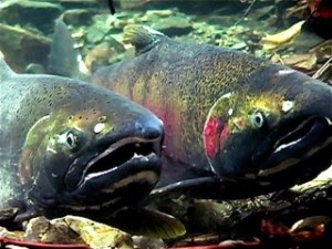 Adult Coho journey up the Columbia, none have ventured up the Snake since the 1980s. The fish were declared extinct from the Snake River Basin in 1984, but in recent years the Nez Perce Tribe has worked to restore coho to the river.