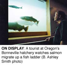 On Display: A tourist at Oregon's hatchery watches salmon migrate up a fish ladder (B. Ashley Smith)