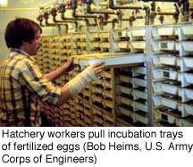 Hatchery workers pull incubation trays of fertilized eggs (Bob Helms, U.S. Army Corps of Engineers)