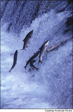 Twenty-six distinct populations of Pacific salmon are now listed under the Endangered Species Act.