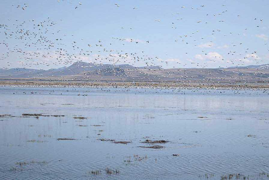 Migrating birds stop over at a flooded field on Joe Villagrana's ranch in Lake County, Ore.  Several projects are in the works around the West to restore flood irrigation to benefit waterfowl and wildlife and replenish groundwater levels.