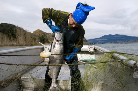 (Benjamin Brink) Mackie Jackson, a Yakama tribal, pulls in a Spring Chinook salmon off Koberg Beach on the Columbia River in April.