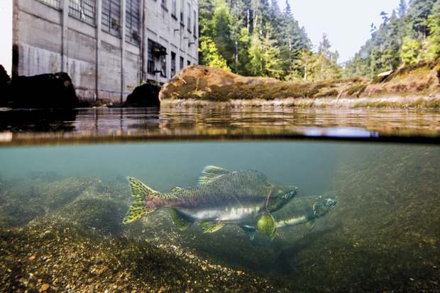 Pink salmon, blocked from migrating further upstream, wait below the now removed Elwha Dam. (photo: Matt Stoecker)