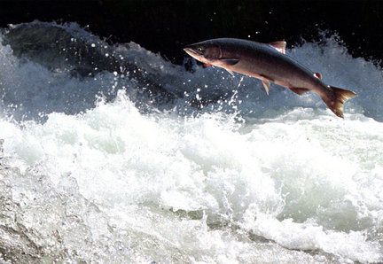 An adult sockeye salmon leaps its way upstream en route to its natal spawning grounds.