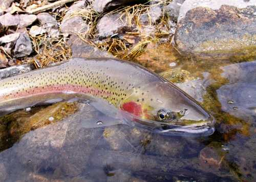 Steelhead swim up to 900 miles from the ocean to the headwaters. Anglers can keep only hatchery steelhead, which are marked with a clipped adipose fin, the one behind the dorsal fin. All fish with an adipose fin must be immediately released unharmed.