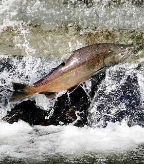 (Ken Lambert/Seattle Times) New changes to a salmon treaty between the U.S. and Canada would let more endangered chinook reach Washington rivers, state officials announced today.